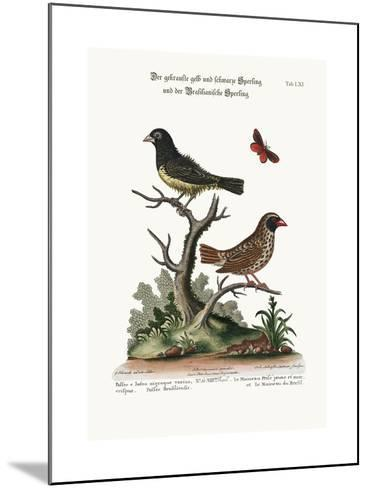 The Black and Yellow Frizled Sparrow, and the Brasilian Sparrow, 1749-73-George Edwards-Mounted Giclee Print