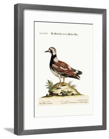 The Turn-Stone from Hudson'S-Bay, 1749-73-George Edwards-Framed Art Print