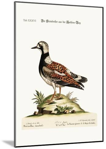 The Turn-Stone from Hudson'S-Bay, 1749-73-George Edwards-Mounted Giclee Print