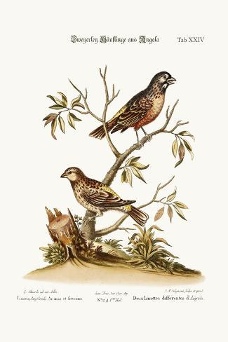 Two Sorts of Linnets from Angola, 1749-73-George Edwards-Stretched Canvas Print