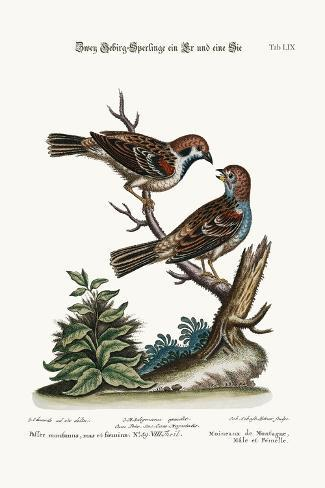 Mountain Sparrows, Cock and Hen, 1749-73-George Edwards-Stretched Canvas Print