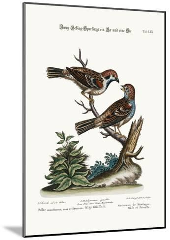Mountain Sparrows, Cock and Hen, 1749-73-George Edwards-Mounted Giclee Print