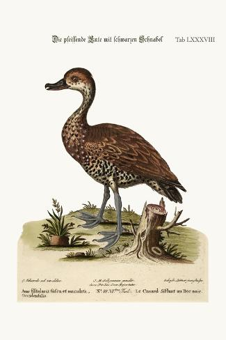 The Black-Billed Whistling Duck, 1749-73-George Edwards-Stretched Canvas Print