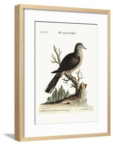 The Transverse Stripe or Bared Dove, 1749-73-George Edwards-Framed Art Print