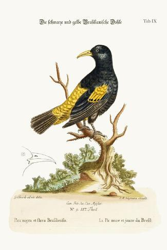The Black and Yellow Daw of Brasil, 1749-73-George Edwards-Stretched Canvas Print