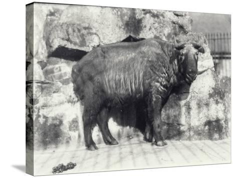 Takin, also known as Cattle Chamois or Gnu Goat, in London Zoo-Frederick William Bond-Stretched Canvas Print