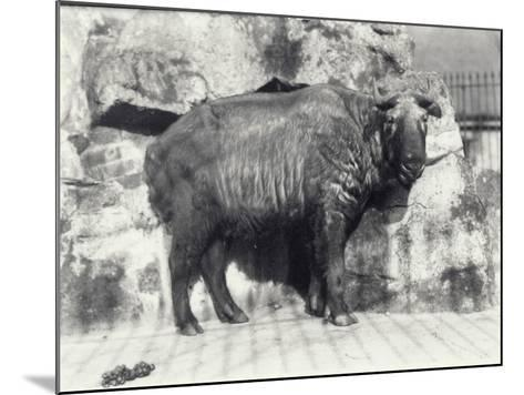 Takin, also known as Cattle Chamois or Gnu Goat, in London Zoo-Frederick William Bond-Mounted Photographic Print
