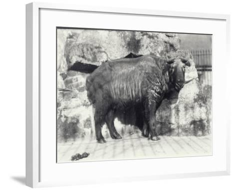 Takin, also known as Cattle Chamois or Gnu Goat, in London Zoo-Frederick William Bond-Framed Art Print