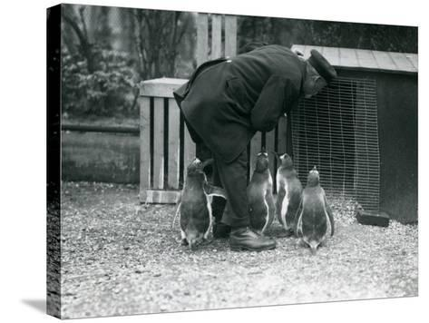 Gentoo Penguins with Keeper Albert White, London Zoo, C.1914-Frederick William Bond-Stretched Canvas Print