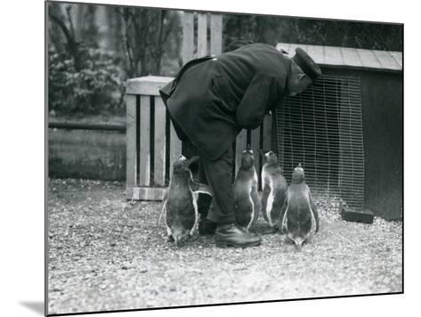 Gentoo Penguins with Keeper Albert White, London Zoo, C.1914-Frederick William Bond-Mounted Photographic Print