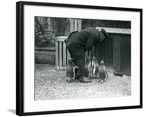 Gentoo Penguins with Keeper Albert White, London Zoo, C.1914-Frederick William Bond-Framed Art Print