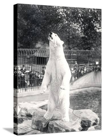 Sam the Polar Bear Begging for Food at Zsl London Zoo, 1912-Frederick William Bond-Stretched Canvas Print