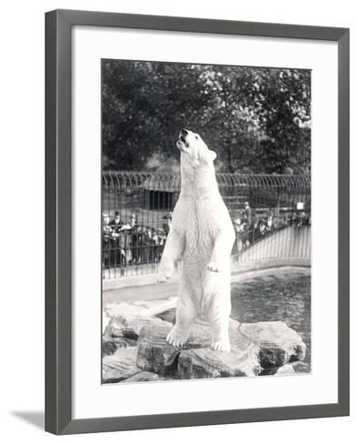 Sam the Polar Bear Begging for Food at Zsl London Zoo, 1912-Frederick William Bond-Framed Art Print