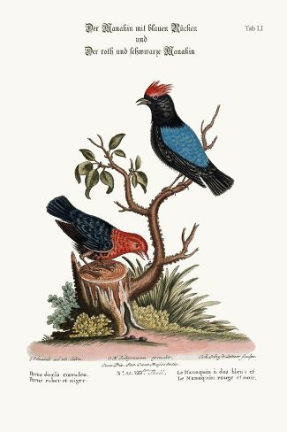 The Blue-Backed Manakin, and the Red and Black Manakin, 1749-73-George Edwards-Stretched Canvas Print