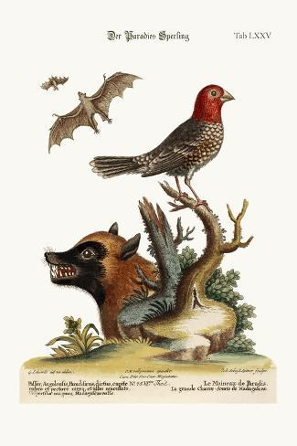 The Sparrow of Paradise. the Great Bat from Madagascar, 1749-73-George Edwards-Stretched Canvas Print