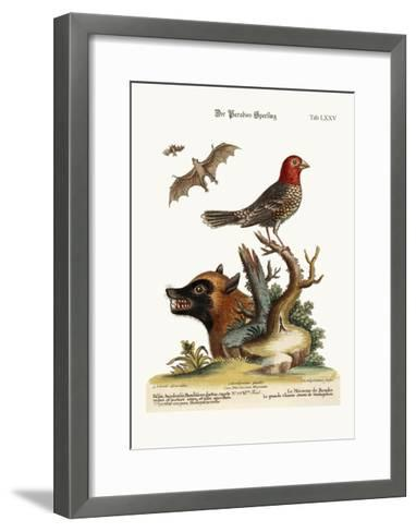The Sparrow of Paradise. the Great Bat from Madagascar, 1749-73-George Edwards-Framed Art Print