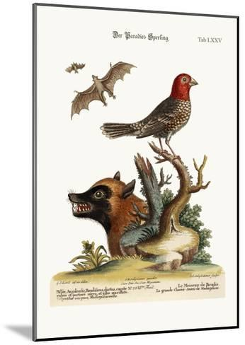 The Sparrow of Paradise. the Great Bat from Madagascar, 1749-73-George Edwards-Mounted Giclee Print