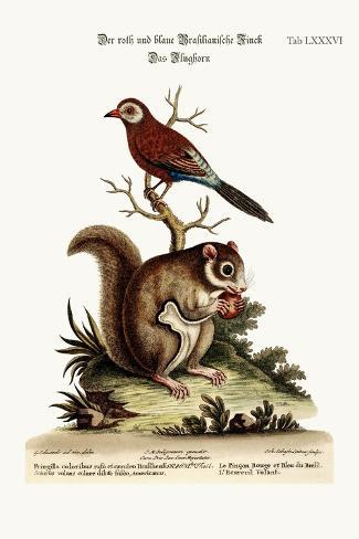 The Red and Blue Brasilian Finch. the Flying Squirrel, 1749-73-George Edwards-Stretched Canvas Print