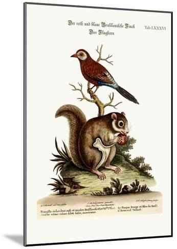 The Red and Blue Brasilian Finch. the Flying Squirrel, 1749-73-George Edwards-Mounted Giclee Print