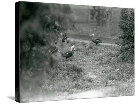 A Pair of Pink-Headed Ducks at Foxwarren Park in June 1926-Frederick William Bond-Stretched Canvas Print