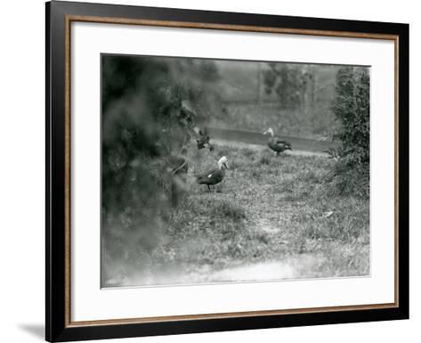 A Pair of Pink-Headed Ducks at Foxwarren Park in June 1926-Frederick William Bond-Framed Art Print