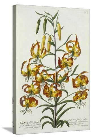 American Turkscap Lily, C.1740-Georg Dionysius Ehret-Stretched Canvas Print