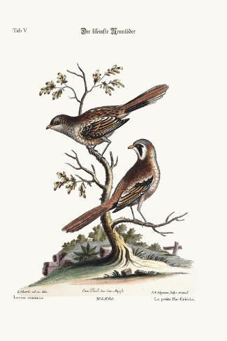 The Least Butcher-Bird, 1749-73-George Edwards-Stretched Canvas Print