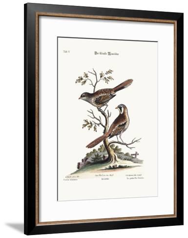 The Least Butcher-Bird, 1749-73-George Edwards-Framed Art Print