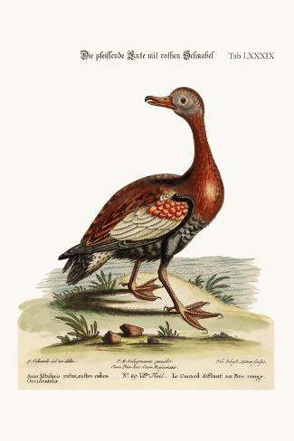 The Red-Billed Whistling Duck, 1749-73-George Edwards-Stretched Canvas Print