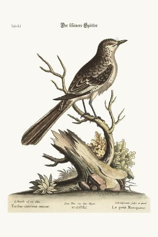 The Lesser Mock-Bird, 1749-73-George Edwards-Stretched Canvas Print