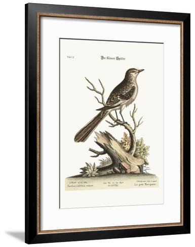 The Lesser Mock-Bird, 1749-73-George Edwards-Framed Art Print