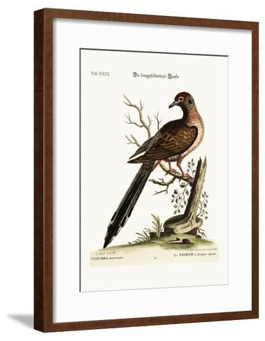The Long-Tailed Dove, 1749-73-George Edwards-Framed Art Print