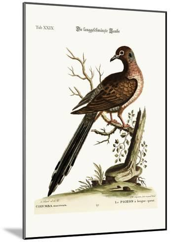 The Long-Tailed Dove, 1749-73-George Edwards-Mounted Giclee Print