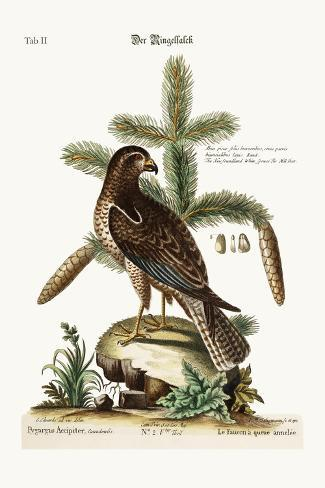 The Ring-Tailed Hawk, 1749-73-George Edwards-Stretched Canvas Print