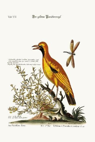 The Golden Bird of Paradise, 1749-73-George Edwards-Stretched Canvas Print
