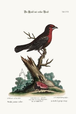 The Red-Breasted Black-Bird, 1749-73-George Edwards-Stretched Canvas Print