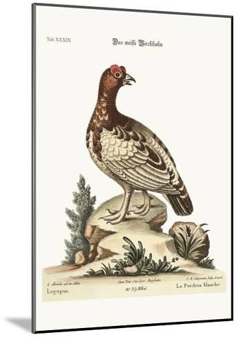 The White Partridge, 1749-73-George Edwards-Mounted Giclee Print