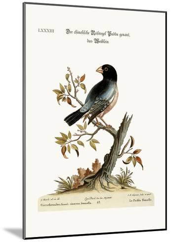 The Hen Padda or Rice-Bird, 1749-73-George Edwards-Mounted Giclee Print