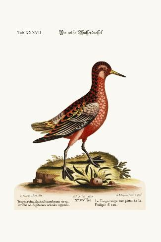 The Red Coot-Footed Tringa, 1749-73-George Edwards-Stretched Canvas Print