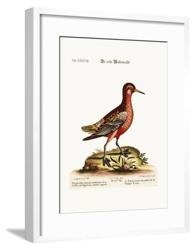 The Red Coot-Footed Tringa, 1749-73-George Edwards-Framed Art Print