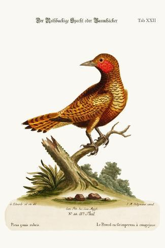 The Red-Cheeked Woodpecker, 1749-73-George Edwards-Stretched Canvas Print