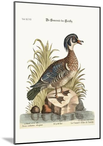 The Summer Duck of Catesby, 1749-73-George Edwards-Mounted Giclee Print