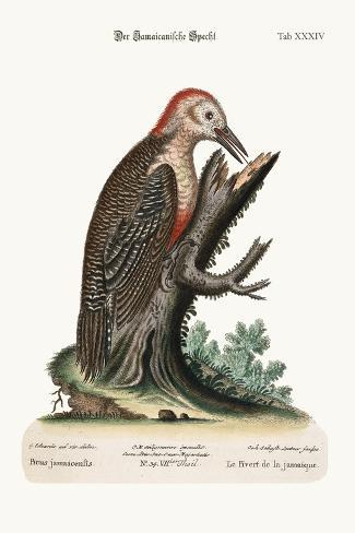 The Wood-Pecker of Jamaica, 1749-73-George Edwards-Stretched Canvas Print