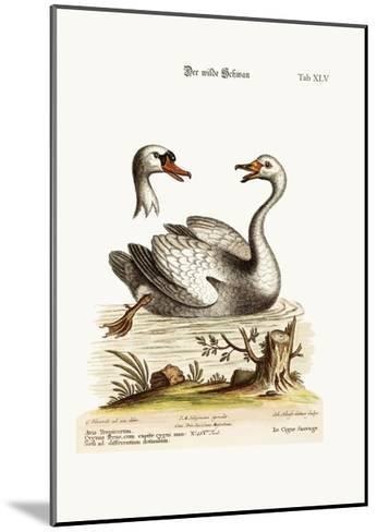 The Wild Swan, 1749-73-George Edwards-Mounted Giclee Print