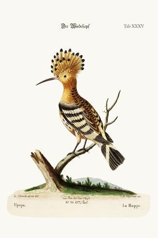 The Hoopoe, 1749-73-George Edwards-Stretched Canvas Print
