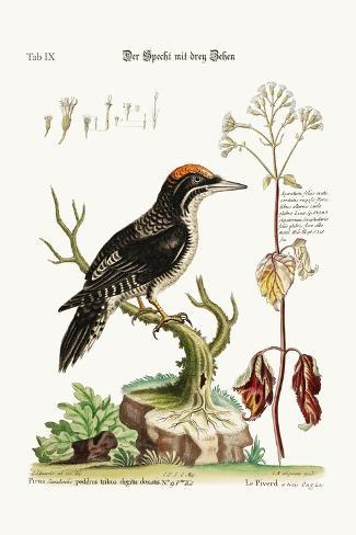 The Three-Toed Woodpecker, 1749-73-George Edwards-Stretched Canvas Print