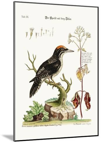 The Three-Toed Woodpecker, 1749-73-George Edwards-Mounted Giclee Print