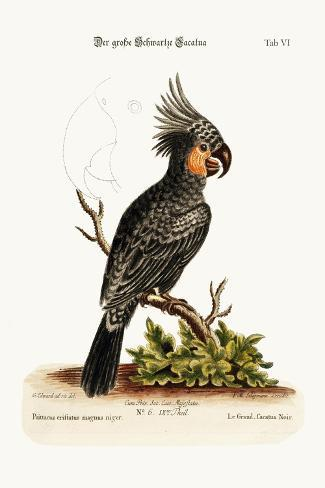 The Great Black Cockatoo, 1749-73-George Edwards-Stretched Canvas Print