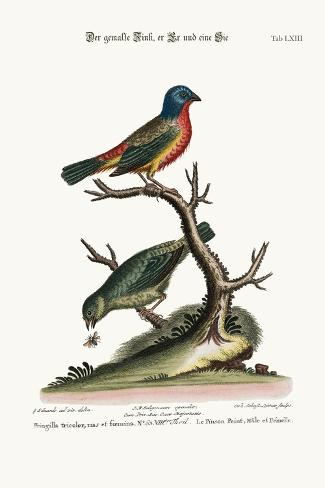 The Painted Finch, Cock and Hen, 1749-73-George Edwards-Stretched Canvas Print