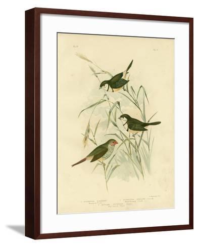 Bicheno's Finch, 1891-Gracius Broinowski-Framed Art Print